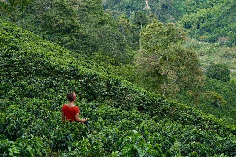 """""""...Pa' que en el conuco no se sufra tanto Ojalá que llueva café en el campo..."""" Hemos tenido esta canción en la cabeza casi todos los días por aquí. Plantaciones de café, Hacienda Venecia, Manizales"""