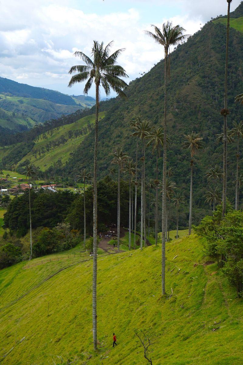 Las palmas de cera. Estos frágiles gigantes pueden medir hasta 60 metros... ¿Encontráis a Ines?